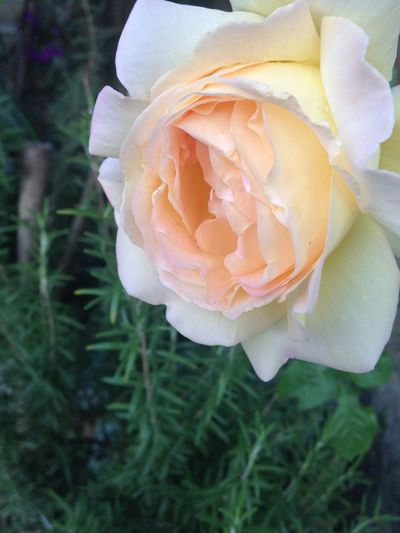 Rose🌹 Flower Rosemary Herb Nature No People Petal Beauty In Nature Fragility Freshness Growth Flower Head Plant Close-up Blooming Rose - Flower Outdoors Day