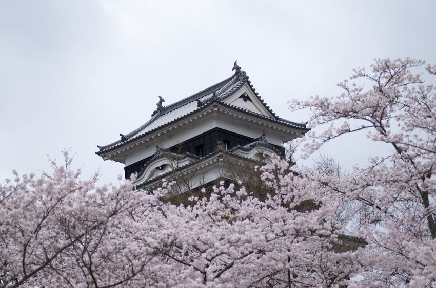 Architecture Building Exterior Castle Cherry Blossoms Famous Place Flower Four Seasons  Japan Landscape Outdoors Ozu Pentax PENTAX K-30 Plant Smc PENTAX-D FA MACRO 100mmF2.8 WR Yeah Springtime!