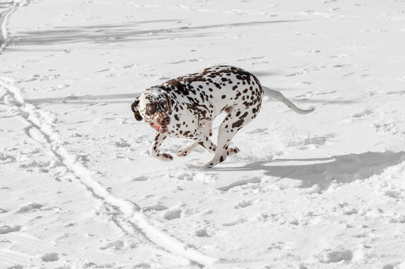 A young beautiful Dalmatian dog running in winter garden Dalmatian Dog One Animal Animal Animal Themes Mammal Pets Nature Land Vertebrate Domestic Animals Spotted Day Snow Domestic No People Animal Wildlife White Color Cold Temperature Feline Sand