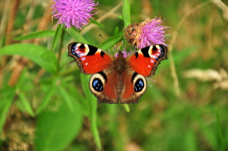 Aglais Io European Peacock Butterfly Peacock Butterfly On Buddleia Animal Themes Animal Wildlife Animals In The Wild Beauty In Nature Close-up Day Flower Flower Head Fragility Freshness Green Color Growth Insect Leaf Nature No People One Animal Outdoors Plant Pollination