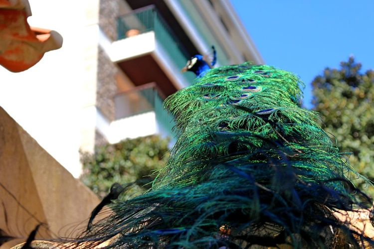 Close-up of peacock against building