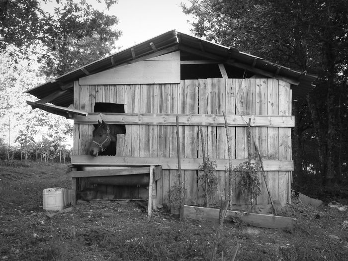 Galicia. Wood - Material Built Structure Horse Outdoors No People Tree House Animal Themes Black & White Window Old Shed Galicia Head Sticking Out