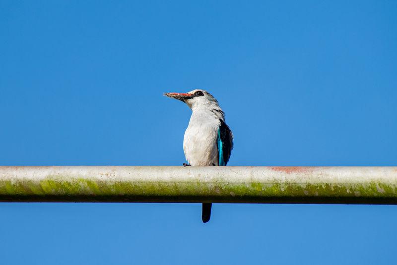 Woodland kingfisher, halcyon senegalensis, perched on post with tiger moth prey on beak, uganda