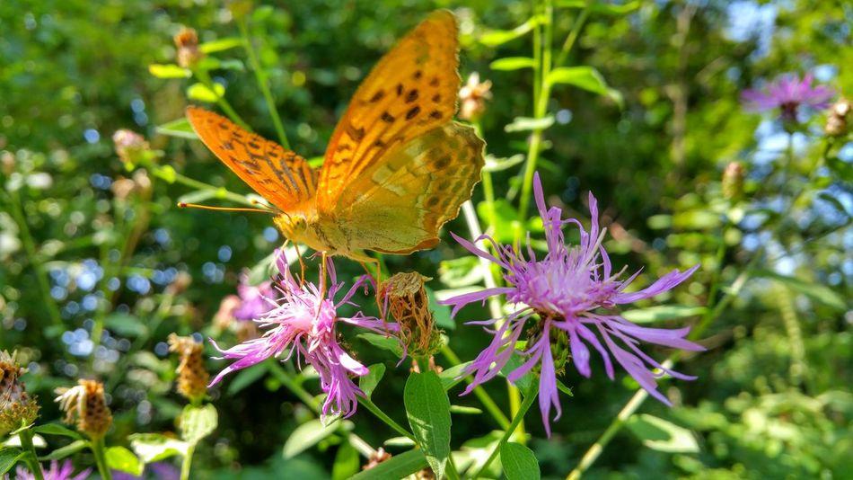 Farfosa Butterfly Farfalla Insect Summer Flower Taipana Udine Friuliveneziagiulia Friuli Venezia Giulia Italia