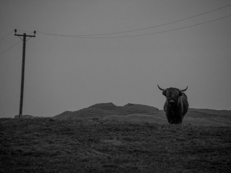 Animal Themes Black And White Countryside Cow Croft Crofting Domestic Animals Highland Cow Hill Horizon Over Land Livestock No People One Animal Outdoors Outer Hebrides Remote Scotland Solitude Telegraph Pole