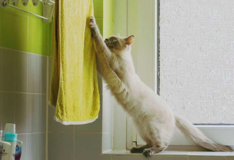 Cat On Window Sill In Bathroom Holding Towel