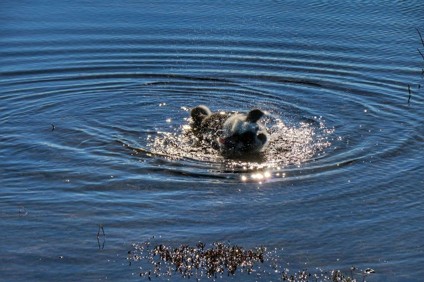 Water Outdoors No People Day Nature Swimming Animal Themes Seltjörn Reykjanes Geopark Having Fun One Animal Dog Mydog Nature Pets