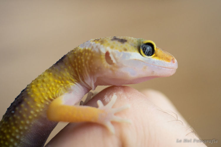 Animal Close-up Colorful Animal Day Gecko Human Body Part Human Hand Leopard Gecko Pet White Background Yellow