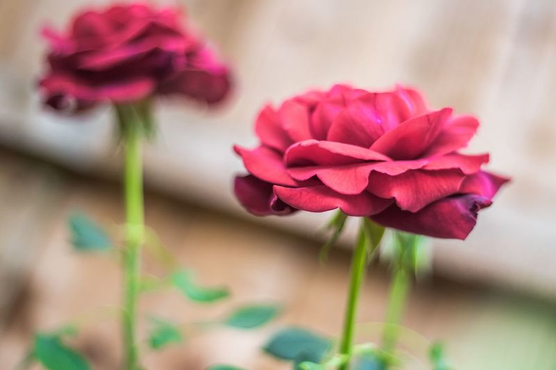 Garden Roses Flowering Plant Flower Plant Beauty In Nature Freshness Fragility Petal Close-up Nature Growth Rosé Focus On Foreground No People