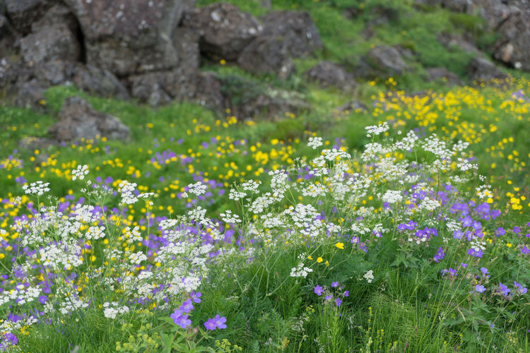 Flower Flowering Plant Plant Freshness Growth Fragility Beauty In Nature Vulnerability  Field Land No People Nature Day Selective Focus Outdoors Abundance Close-up Grass Wildflower Green Color Flower Head Springtime Small Purple Flowerbed