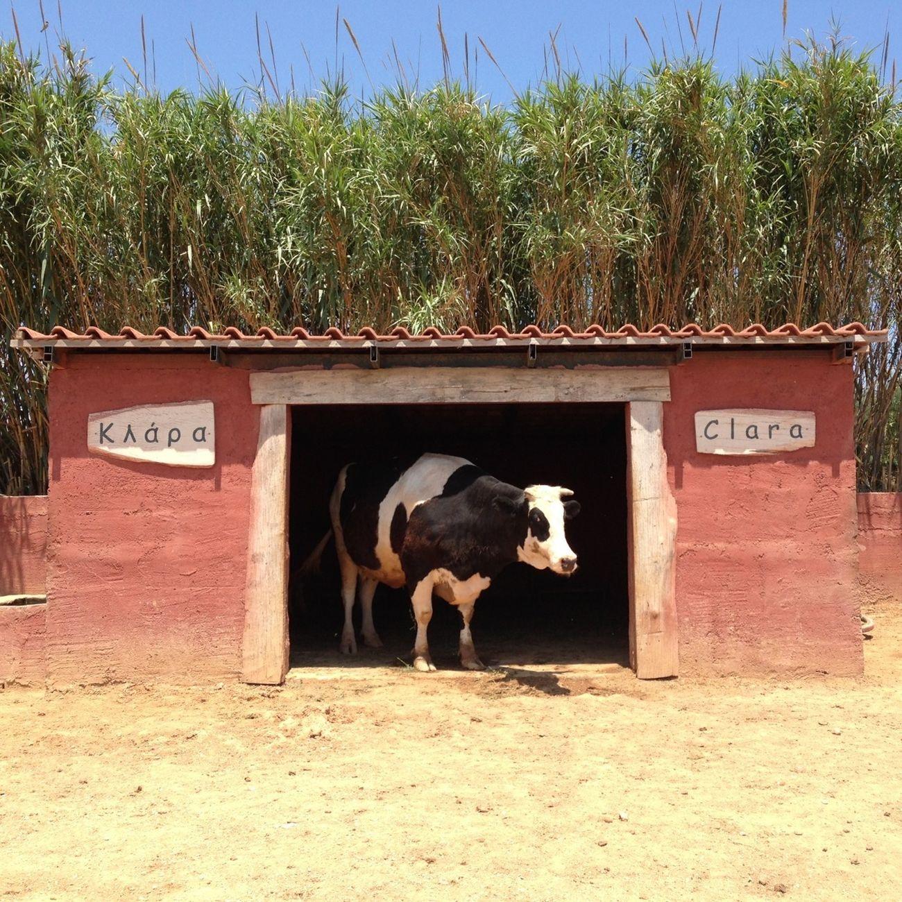 Animals Cow