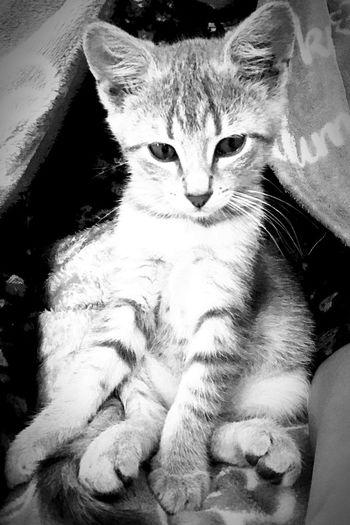 Love ♥️ Blackandwhite Love Kitty Cat Domestic Cat Feline Pets Domestic Animals Looking At Camera