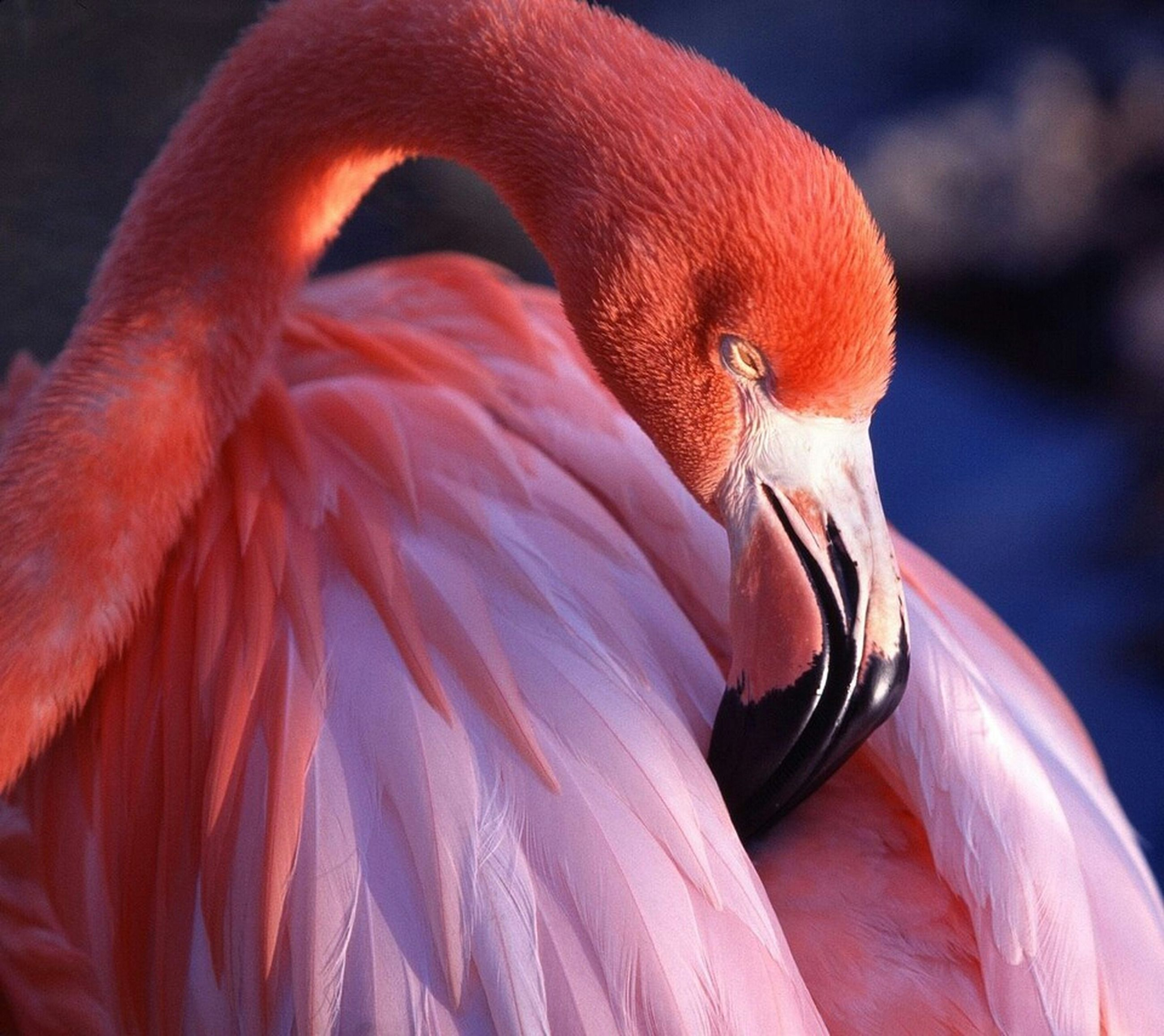 animal themes, animals in the wild, wildlife, close-up, one animal, bird, focus on foreground, orange color, red, beak, flamingo, nature, outdoors, side view, no people, animal head, day, beauty in nature, feather, selective focus