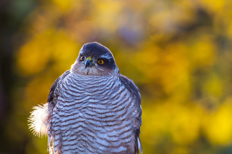 Close-up of sparrow hawk with golden background