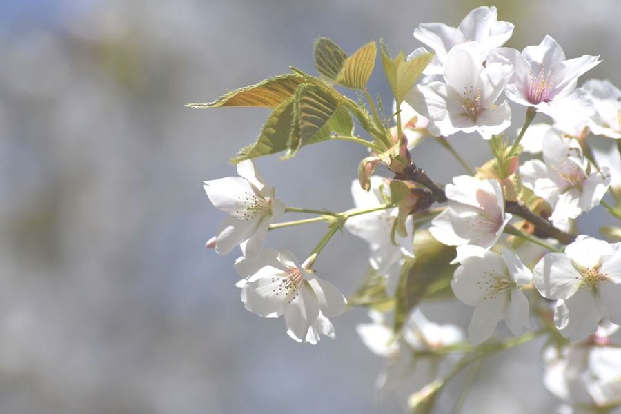 EyeEm Flower Cherry Blossoms Flower Freshness Beauty In Nature Fragility Growth Petal Blossom Close-up Springtime Day