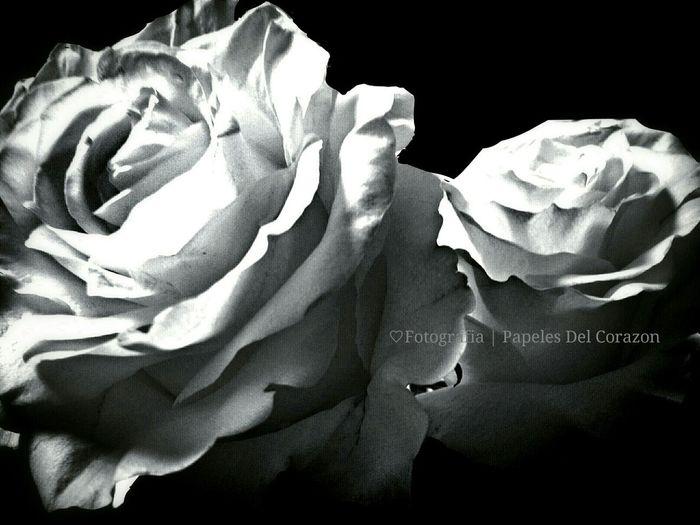 Roses White Roses Flowerporn RosePorn )(