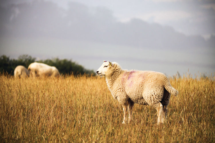 Sheep in a field. Farm Farmer Grass Lamb Animal Animal Themes Animals Day Field Grass Lambs Land Landscape Livestock Mammal Nature No People One Animal Outdoors Plant Sheep Sheeps Sky Standing Vertebrate