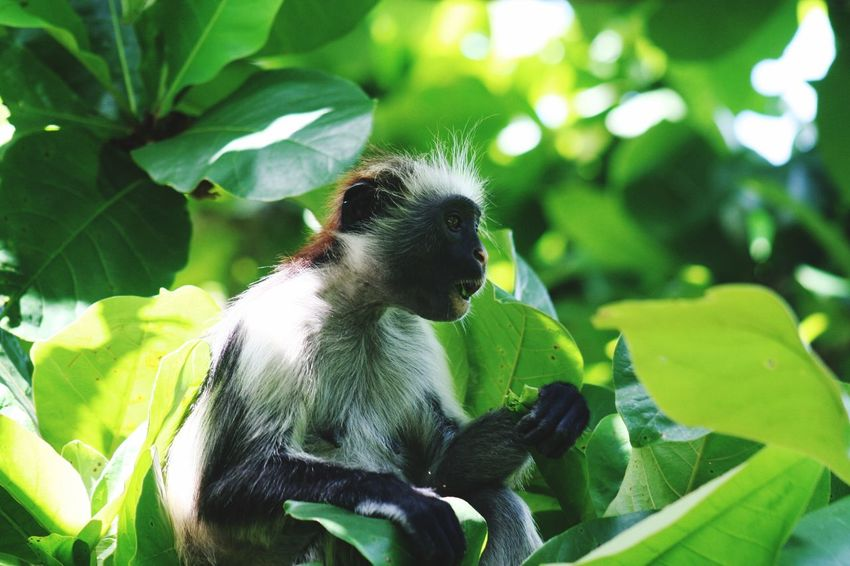 Monkey Zanzibar Monkey Zanzibar Colobus Tanzania Animal Themes Animals In The Wild Animal Wildlife Animal One Animal Green Color Leaf Plant Part Growth Plant Nature No People Close-up Focus On Foreground Beauty In Nature Outdoors