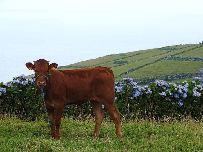 Azores Rural Scene Agriculture Field Mountain Cow Farm Grass Sky Livestock Domestic Cattle Farm Animal