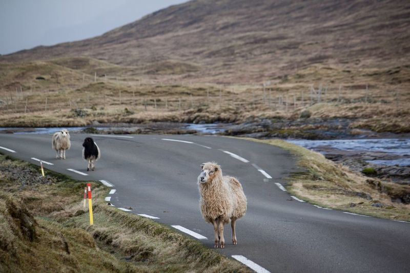 Shaun the sheep Nature Road Mountain Animal Sheep Landscape Photography Photo Faroe Islands Farm Nature Happy Awesome Photooftheday Picoftheday Followme Canonphotography Canon The Great Outdoors - 2017 EyeEm Awards