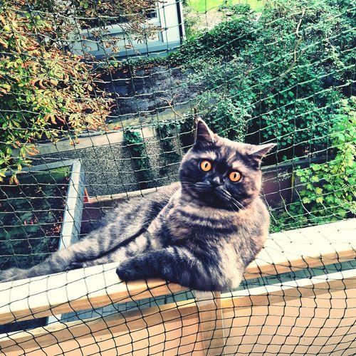 Oskar The Cat Chillin' Balcony Outside Pets Outdoors Feline Sitting Cute Lovehim