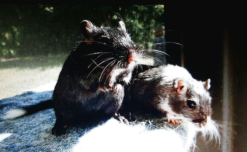 Gerbils Jack and Pepper RIP Gerbil Dailygerbils Rodentlove