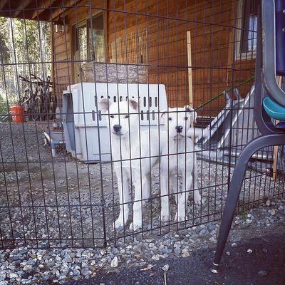 Puppies Dogoargentino Kishuken