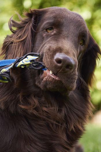 Close-up portrait of dog biting strap