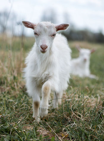 Agriculture Animal Themes Backgrounds Business Finance And Industry Cattle Breeding Close-up Day Domestic Animals Farm Field Focus On Foreground Grass Lamb Latvia Livestock Mammal Nature No People One Animal Outdoors Pasture White Goat Yeanling