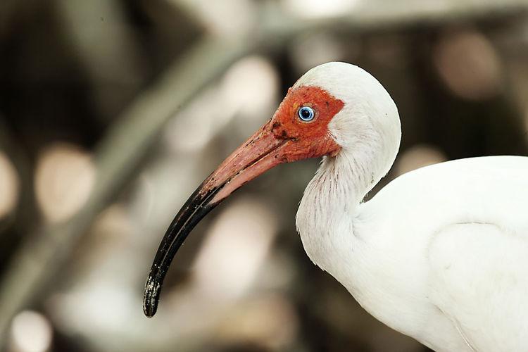 Close-up of white ibis
