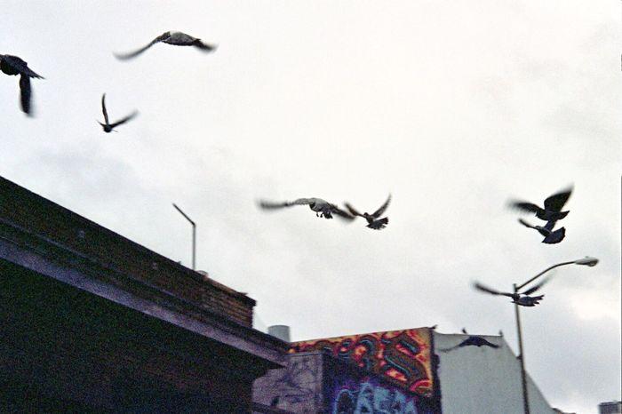 SF Little Saigon Fuji Pro800z NATURA Classica Animal Themes Spread Wings Bird Flying Flock Of Birds Koduckgirl Film Pigeons