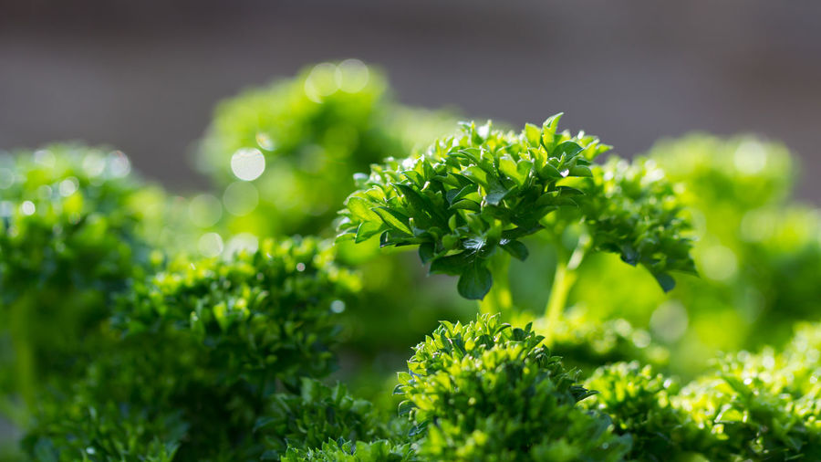 Petersilie Petroselinum Crispum Backgrounds Beauty In Nature Beginnings Close-up Day Focus On Foreground Food Food And Drink Freshness Garden Green Color Growth Healthy Food Herb Leaf Nature No People Outdoors Parsley Plant Plant Part Selective Focus Vegetable