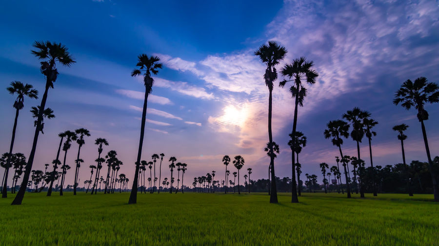 Sunrise at Dong Tan, Pathum Thani Plant Palm Tree Tree Sky Tropical Climate Sunset Beauty In Nature Cloud - Sky Land Growth Grass Field Tranquil Scene Scenics - Nature Tranquility Nature Environment Landscape No People Idyllic Outdoors Coconut Palm Tree Tropical Tree