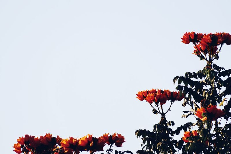 Low angle view of flower trees against clear sky