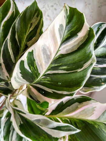 Calathea 'Fusion White' green white leaves, rare houseplant with unique patterns, vertical orientation, nobody. Detail Closeup Green White Leaves Nature No People Close-up Green Color Leaf Houseplant Foliage Plant Marantaceae Calathea Calathea Fusion White Prayer Plant