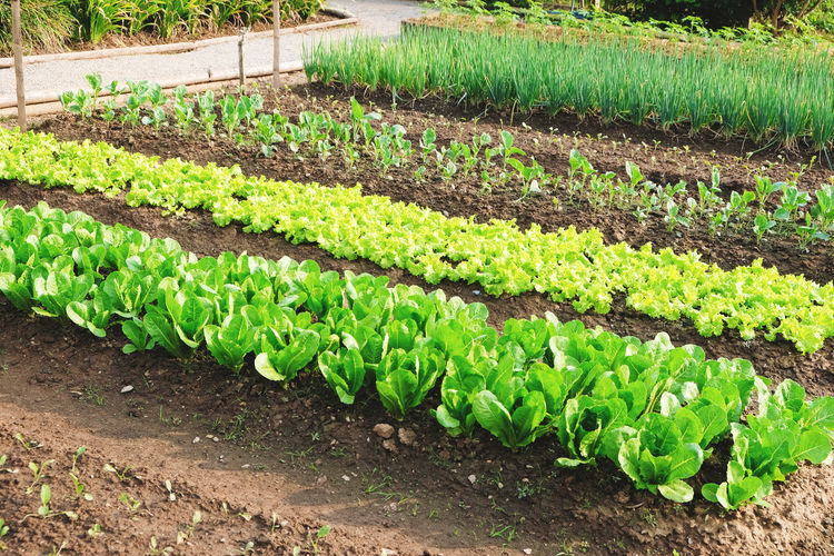 Vegetable garden. Vegetable Agriculture Plant Growth In A Row Green Color Food And Drink Crop  Nature Lettuce Food Landscape Rural Scene Farm Vegetable Garden Garden Dirt Plant Part Leaf Healthy Eating Organic No People Gardening Outdoors Order