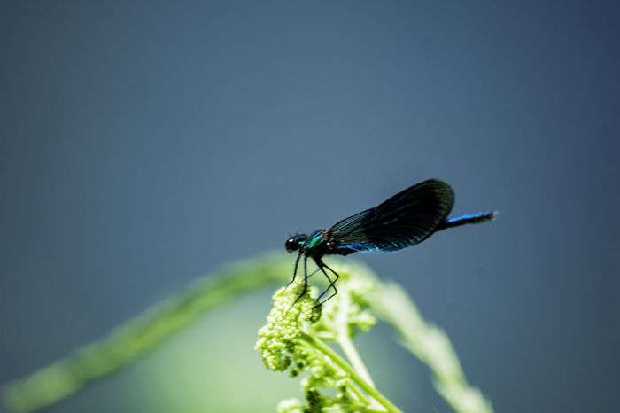 Animal Themes Animal Wildlife Animals In The Wild Blue Close-up Damselfly Day Green Color Insect Leaf Nature No People One Animal Outdoors