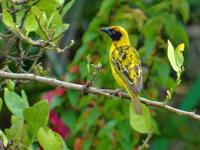 Tisserin gendarme ( bélier Réunion 974) Bird Animals In The Wild Perching One Animal Animal Wildlife Animal Themes Branch Focus On Foreground Leaf Tree Nature Day Songbird  Plant No People Outdoors Yellow Bluetit Beauty In Nature Close-up