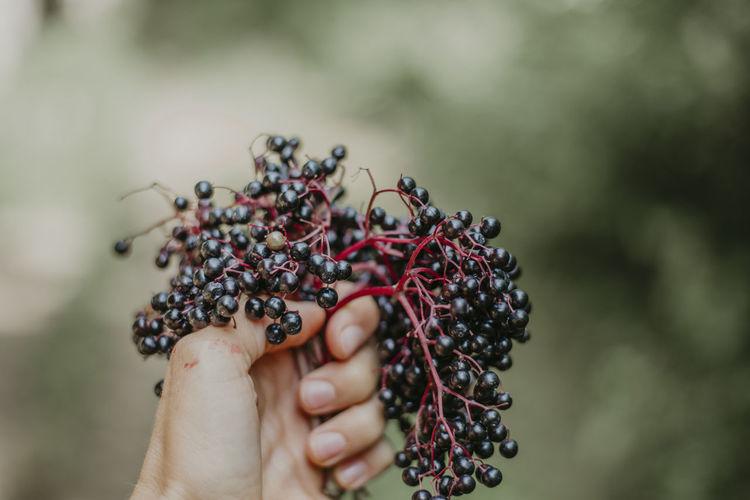 Close-up of hand holding elderberries