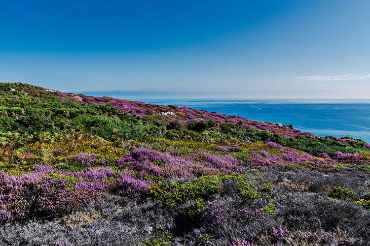 Purple flowering plants by sea against sky