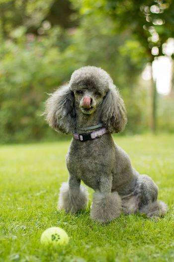 Animal Head  Animal Nose Day Dog Domestic Animals Focus On Foreground Front View Grass Licking Nose Mammal One Animal Outdoors Pets Poodle Sticking Out Tongue