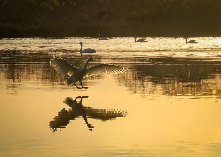 Bird flying over lake during sunset