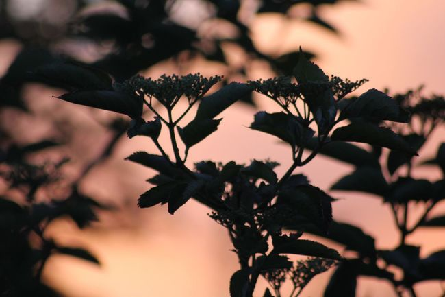 Sunset silhouette Plant Growth Nature Close-up Beauty In Nature No People Tree Plant Part Focus On Foreground Leaf Sky Flower Flowering Plant Freshness Branch Outdoors Tranquility Vulnerability  Day Selective Focus