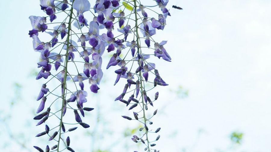 Close-up of purple wisteria flowers