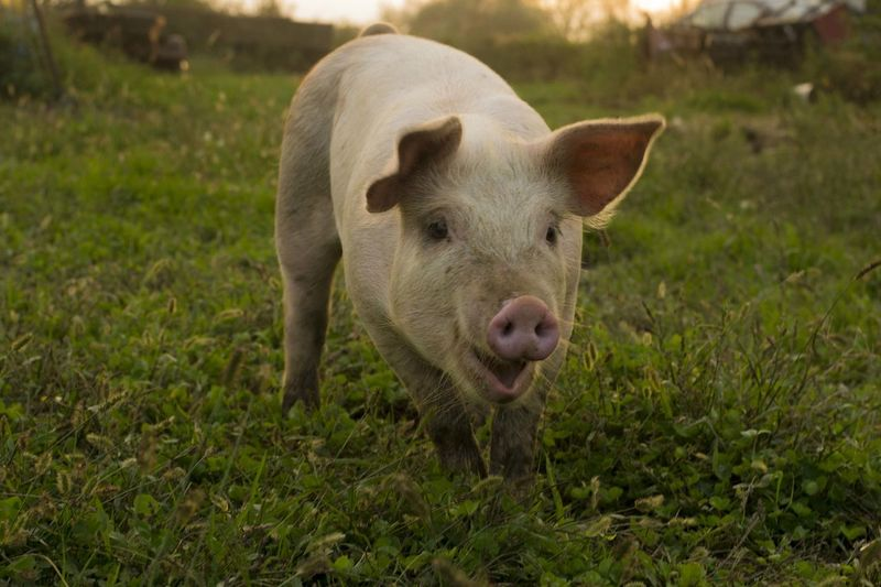 BabyPig Animal Themes Close-up Day Domestic Animals Field Grass Happy Animal Happy Pig Livestock Mammal Nature No People One Animal Outdoors Pig Pigeon Piglet Young Animal First Eyeem Photo EyeEmNewHere EyeEm Nature Lover