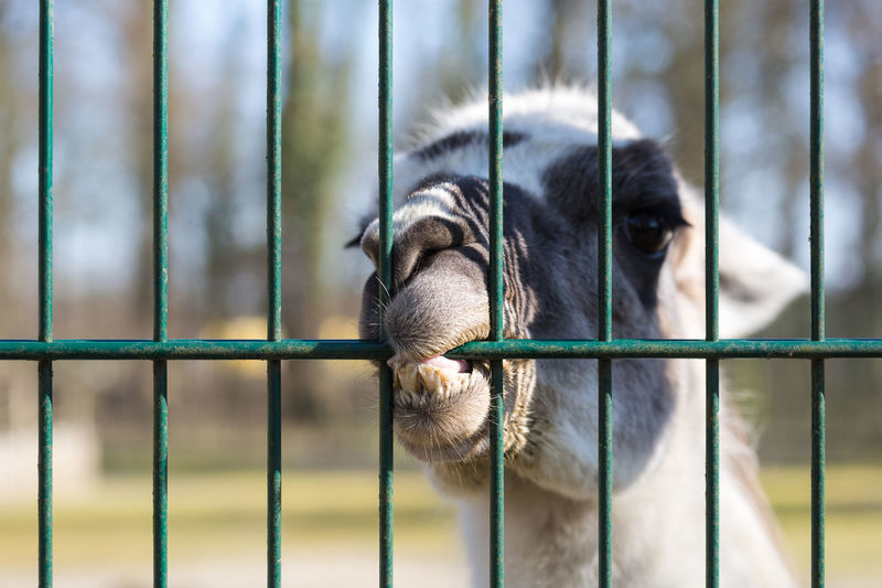 Close-up of alpaca biting on metallic fence at zoo
