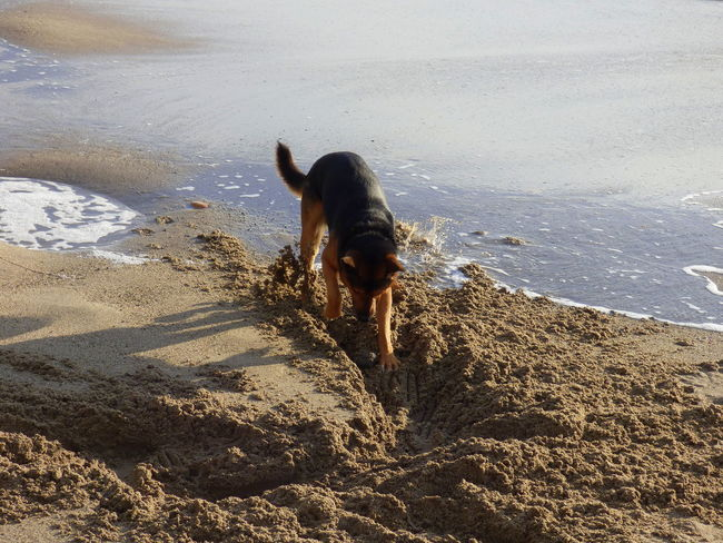 Animal Themes Beach Beach Photography Day Dog German Shepherd Dog Playing On The Beach Mammal One Animal Outdoors Sand