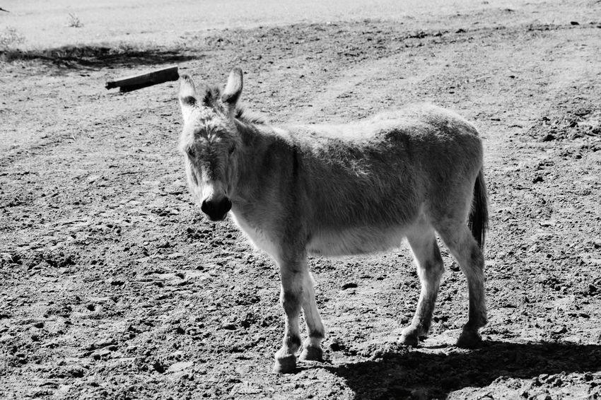 No People Outdoors Farmliving Donkey Portrait Blackandwhite Lovefarmlife
