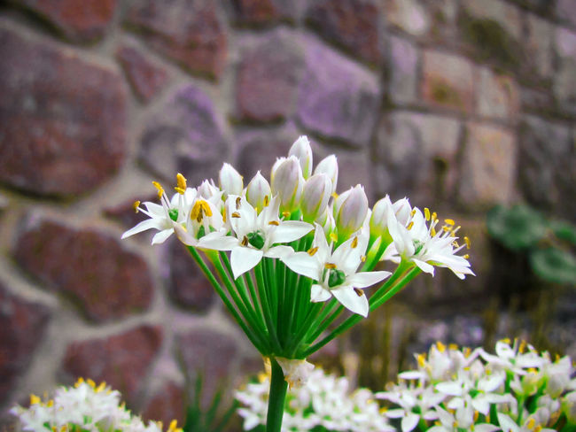 Beautiful Clean Clear Colorado Colorado Springs, CO Crisp Downtown Flower Flowers Gorgeous Green High Resolution Natural Nature Naturelovers Outdoors Outside Petal Photography Pretty Stem Stone Stone Wall Wall White