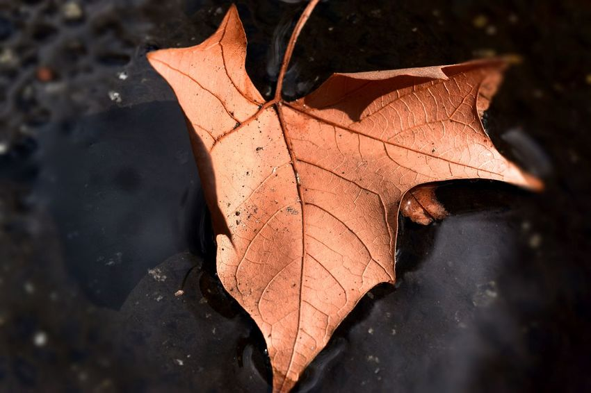 """""""BAT LEAF"""" Aging Process Autumn Beauty In Nature Change Close-up Day Dry Fallen Focus On Foreground Fragility Ground Leaf Leaf Vein Leaves Maple Leaf Natural Condition Natural Pattern Nature No People Orange Color Outdoors Season  Selective Focus Tranquility Yellow"""